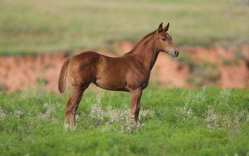 лошадь, трава, конь, жеребенок, cam essick