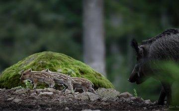 природа, фон, животные, кабаны, хрюшки