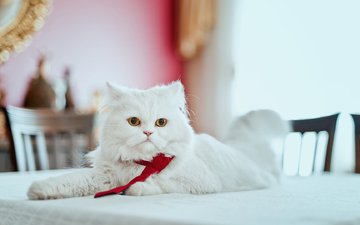 cat, muzzle, mustache, look, table, white, persian