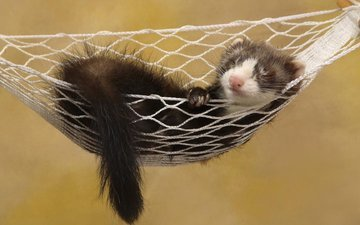 background, stay, hammock, animal, tail, rodent, ferret