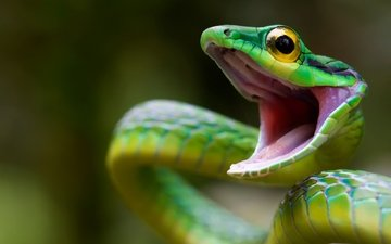 snake, green, scales, reptile, closeup, costa rica, mamba