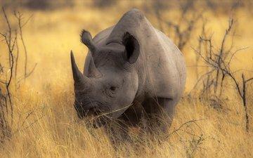 африка, носорог, прерия, рог, млекопетающее, непарнокопытное
