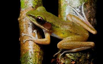 eyes, tree, macro, frog, black background, bark, legs, amphibian, amphibians