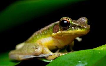 eyes, macro, sheet, frog, black background, amphibian, amphibians