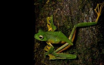 глаза, дерево, лягушка, черный фон, зеленая, кора, лапки, амфибия, земноводные