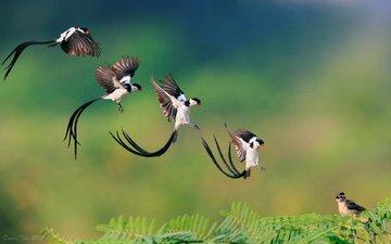 полет, птицы, клюв, перья, хвост, приземление, pin-tailed whydah, доминиканская вдовушка