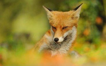 природа, фон, мордочка, взгляд, рыжая, лиса, размытость, лисица