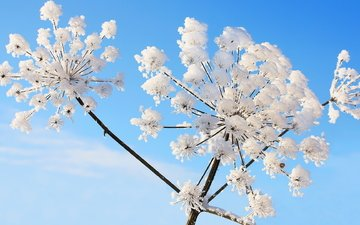 the sky, winter, frost, plant, dill, umbrellas