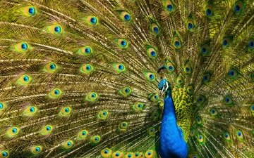 pattern, bird, peacock, feathers, tail