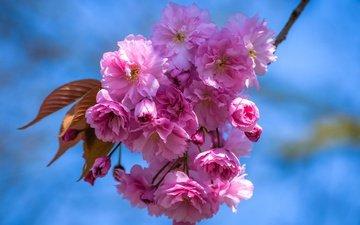 небо, цветы, ветка, цветение, лепестки, весна, вишня, сакура
