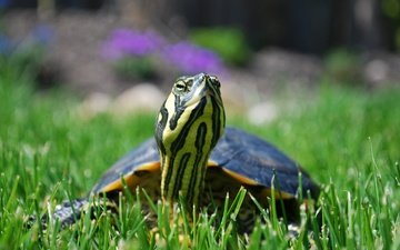 grass, nature, turtle, bug, water turtle
