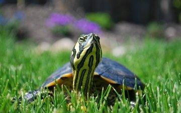 трава, природа, черепаха, черепашка, водная черепаха
