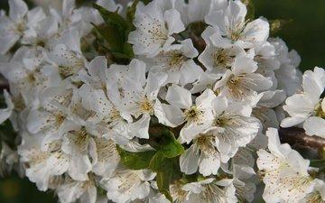 цветы, ветка, цветение, листья, черешня, весна