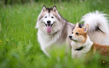трава, природа, луг, хаски, язык, друзья, собаки, корги