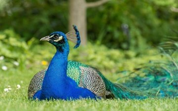 bird, peacock, feathers, color