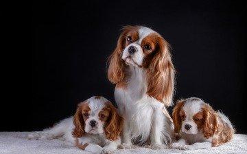 черный фон, щенки, собаки, спаниель, кавалер-кинг-чарльз-спаниель