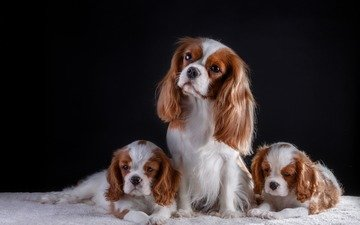 black background, puppies, dogs, spaniel, cavalier-king-charles-spaniel
