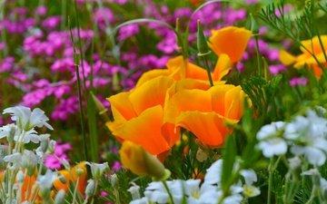 цветы, весна, эшшольция, калифорнийский мак, ясколка
