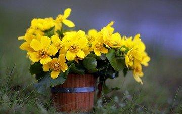 flowers, grass, petals, pot, yellow flowers, marigold, kaluzhnitsa