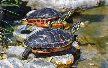 вода, камни, животные, водоем, пара, черепахи, черепашки, рептилии