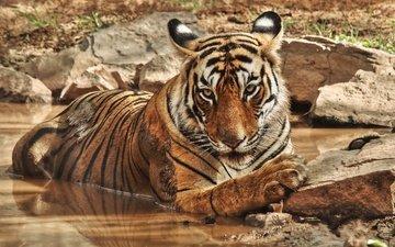 тигр, природа, камни, водоем, дикие кошки, зоопарк, большие кошки