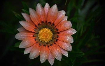 макро, фон, цветок, капли, лепестки, газания