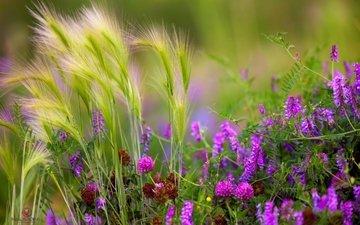 трава, клевер, лето, луг, колоски, стебли, полевые цветы, душистый горошек