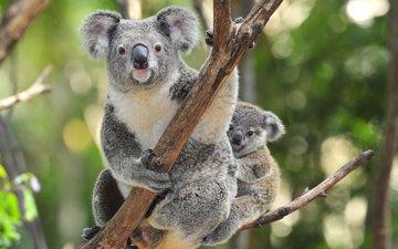 дерево, детеныш, коала, коалы