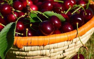 природа, листья, черешня, ягоды, вишня, урожай, корзинка, лукошко