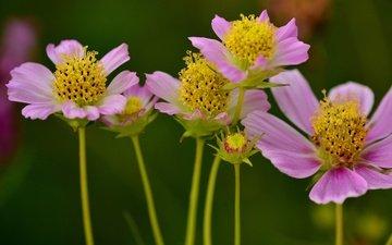 цветы, макро, лепестки, стебли, космея