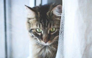 глаза, кот, мордочка, усы, кошка, взгляд, тюль