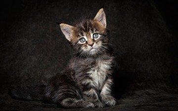 кот, мордочка, усы, кошка, взгляд, котенок, мейн-кун
