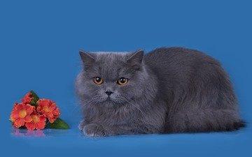 цветы, фон, кот, мордочка, усы, кошка, взгляд, британская