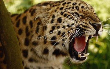 леопард, клыки, хищник, большая кошка, оскал, угроза