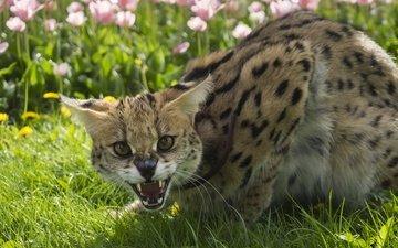 flowers, grass, summer, cat, fangs, grin, serval