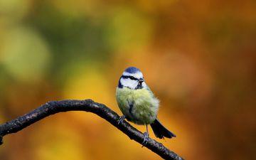 осень, птица, синица