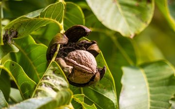 ветка, дерево, листья, орехи, орех, грецкий орех