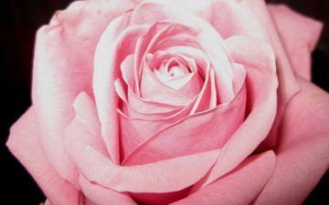 цветение, цветок, роза, лепестки, розовый