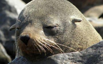 мордочка, сон, тюлень