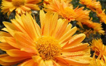 цветы, лепестки, маргаритки, маргаритка