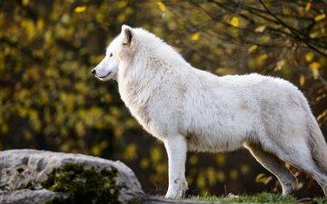 природа, листья, ветки, осень, белый, профиль, камень, волк, полярный, арктический волк, арктический