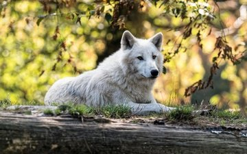 морда, природа, листья, ветки, осень, белый, лежит, профиль, бревно, волк, боке, полярный, арктический волк, арктический
