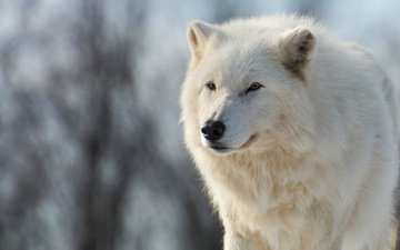 морда, природа, зима, животные, ветки, взгляд, белый, голубой фон, волк, полярный, арктический волк, арктический