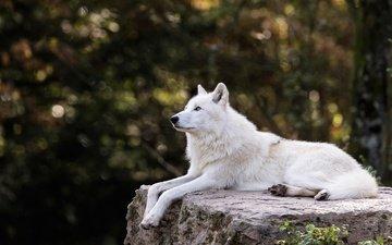 деревья, природа, ветки, белый, лежит, профиль, камень, темный фон, волк, зоопарк, боке, полярный, арктический волк, арктический