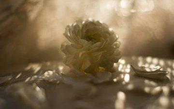 свет, цветы, фон, лепестки, блики, размытость, боке, ранункулюс
