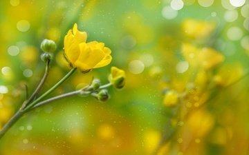 бутоны, лепестки, боке, лютик, желтый цветок