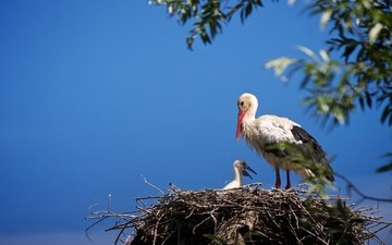 the sky, chick, branches, birds, stork, socket