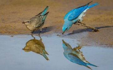 отражение, птицы, клюв, пара, перья, голубая сиалия