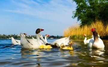 вода, водоем, птицы, пруд, утята, утки, гусь, птенцы, гуси, голубое небо, гусята