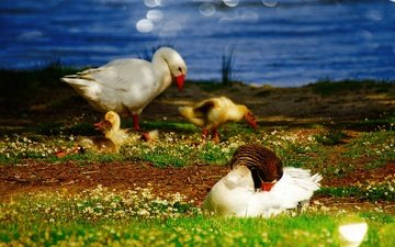 цветы, трава, река, природа, берег, зелень, лето, водоем, птицы, пруд, утята, утки, гусь, утка, птенцы, боке